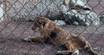"""170704  MOROLEÓN.- El león africano nombrado Moctezuma, que se encuentra en cautiverio en el Parque Zoológico Moroleón """"Áreas Verdes"""", que se viralizó en redes sociales por mostrarse extremadamente delgado, al grado que se marcaban sus costillas en la piel, está enfermo, por su edad, 25 años, ya no procesa bien los alimentos, por lo que se atiende medicamente y lleva dieta espacial para su cuidado, señaló el alcalde, Jorge Ortiz Ortega."""